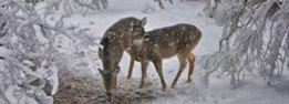 pair of deer in snow